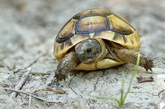 """Baby tortoise • <a style=""""font-size:0.8em;"""" href=""""http://www.flickr.com/photos/142017798@N06/37974791461/"""" target=""""_blank"""">View on Flickr</a>"""