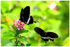 蝶兒雙雙飛   Couple butterfly flying (Alice 2017) Tags: 2017 hongkong bokeh green butterfly canon canoneos7d eos7d nature canonef70200mmf4lisusm plant autumn flower couple insect saariysqualitypictures