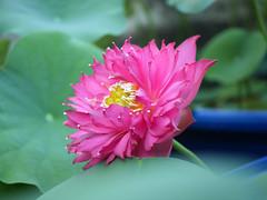 Nelumbo nucifera 'Russell' Wahgarden Thailand 19 (Klong15 Waterlily) Tags: russell nelumbo sacredlotus lotus lotusflower flower landscape wahgarden