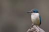 sacred kingfisher (Todiramphus sanctus)-1049 (rawshorty) Tags: rawshorty birds canberra australia act woodstocknr