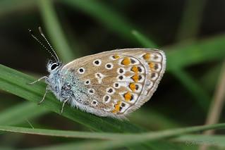 Hauhechel-Bläuling (Polyommatus icarus) im Gras
