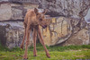 On the tip of my tongue (CecilieSonstebyPhotography) Tags: grass rock tongue cute baby young canon animal norway markiii june langedrag canon5dmarkiii ef100400mmf4556lisiiusm unsteady norwegian onthetipofmytongue moose calf specanimal ngc
