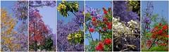 Jacaranda Plus.... (Tatters ✾) Tags: jacaranda flowers trees australia spring floweringtrees mosaic collage notes