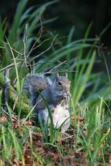 Kilmacurragh Squirrel (AO'Brien) Tags: kilmacurragh squirrel wildlife nature autumn wicklow ireland