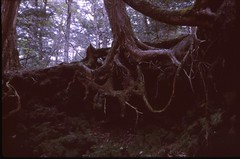 (✞bens▲n) Tags: pentax lx provia 400x at800 fa 43mm f19 limited film slide analogue japan yamanashi forest woods aokigahara roots tree