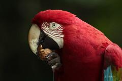 Ara (K.Verhulst) Tags: ara macaw papegaai vogels vogel birds bird apenheul apeldoorn coth5 ngc npc
