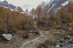 Lötschental (bulbocode909) Tags: valais suisse lötschental montagnes nature paysages arbres mélèzes forêts neige glaciers sentiers rochers jaune orange automne