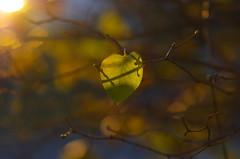 Sunny leaves (Baubec Izzet) Tags: baubecizzet pentax bokeh leaves nature light flickrunitedaward