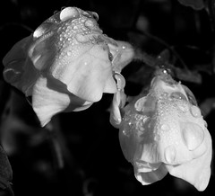 Pretty sweet peas, with beautiful droplets...waiting for me to snap them 📷😁🌞👍 (leannehall3) Tags: blackandwhite sweetpea petals flower flowerarebeautiful flowersarefabulous flowerflowerflower raindrops closeupphotography closeup macrotubes macro garden hull canon 1300d