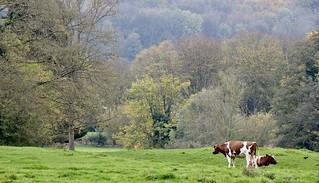 Koeien gespot in het Limburgse heuvelland langs de rivier de Geul.