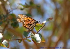 Monarch Danaus plexippus... (law_keven) Tags: monarchdanausplexippus butterfly butterflies insects usa america photography macrophotography travel holiday vacation roadtrip costamesa california