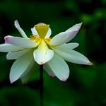 Fully Bloom thumbnail