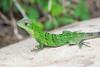 Costa-Rica-6355.jpg (ingmar_) Tags: costarica fauna gezin natuur reptiel vakantie zomervakantie