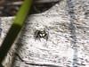 Guilded Moustache (tessab101) Tags: spider arachnid arachnids arthropods kuringgai wildflower gardens north sydney nsw australia salticid salticidae jumping
