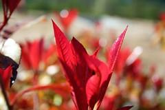 IMG_8726 - bokeh in rosso (molovate) Tags: fiori foglie tafme rosso tenero volate bokeh macro sbocciare primavera emozione ricordo