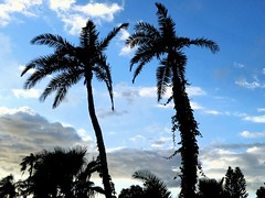 Two Palms (Michel Curi) Tags: trees palm sky clouds lovefl florida nature two hurricaneirma irma pinellasirma hurricane