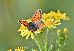 October Copper. (pstone646) Tags: butterfly copper insect nature flower fauna flora wildlife kent yellow orangeandblack green plant feeding animal closeup bokeh