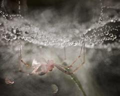 C'est bientôt Halloween ! (jf.cudennec) Tags: nature animal insect spider spiderweb dew drop droplet silk dark autumn fall halloween canon 100mm 70d macro macrophotography