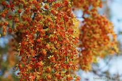 Cassia brewsteri - flowering tree (Tatters ✾) Tags: australia qld cassia tree orangeflowers cassiabrewsteri cassiabrewsterivarbrewsteri flowers fabaceae walktowork brewster'scassia leichhardtbean vinethicketarf openforest arfflowers yellowarfflowers caesalpiniaceae arfp qrfp orangearfflowers