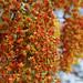 Cassia brewsteri - flowering tree