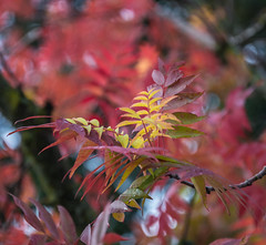 Different Stages. (Omygodtom) Tags: abstract autumn season fall flickr contrast colours colorful leaves outdoors outside red yellow orange oregon kitlens nikon18105vrlens dof d7100 digital 7dwf