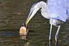 HELP ME (Bill Vrtar Photo) Tags: blueheron heron lilypond millcreekpark