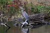 _DSC0755A (Bill Vrtar Photo) Tags: heron blueheron bird wildlife millcreekpark lilypond boardman ohio vrtarsmugmugcom