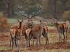 _MG_5413 (john j kennedy58) Tags: dear stag antler bradgate park canon 30d morning early sunrise
