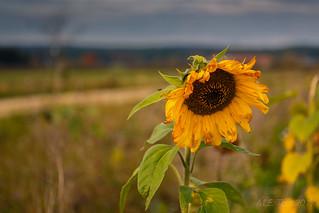 Sad sunflower @ Schwabische alb