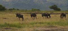 Ñues (antoniocamero21) Tags: ñues mamíferos hervíboros color foto minolta kenia africa
