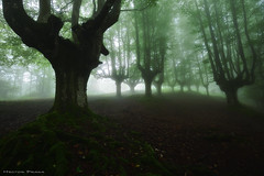 The King of the Forest (Hector Prada) Tags: bosque niebla raices atmósfera árbol hojas bruma misterioso encantado mágico hayedo musgo forest fog mist mood tree leaves creepy enchanted charmed dark misterious moss paísvasco basquecountry