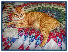 Freja Just Hanging Out (Chris C. Crowley) Tags: frejajusthangingout freja cat pet kitty gingercat orangecat bobtail manx feline whiskers quilt bed bristoltennessee 9122017