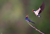 Wire tailed Swallows (Riaz . khan) Tags: wire tailed swallow wiretailswallow riaz pakistan islamabad canon600mm flight fight action