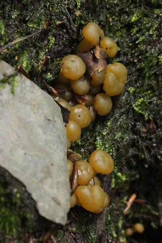 Jelly Baby - Leotia lubrica