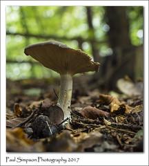 Half eaten mushroom (Paul Simpson Photography) Tags: mushroom fungus fungal paulsimpsonphotography nature naturalworld leaves autumn sonya77 sonyphotography forest woodland october autumnal parasol normanbypark parkland ukfungusday
