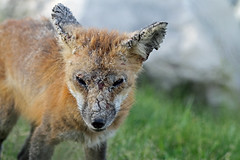 Mange (marylee.agnew) Tags: red fox mange infection cure outdoor wildlife nature stress