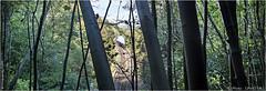 Buriton Jungle (channel packet) Tags: steam train rail tour special black5 blackfive trees railway railroad panorama davidhill