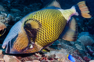 Titan Triggerfish - Balistoides viridescens
