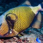 Titan Triggerfish - Balistoides viridescens thumbnail