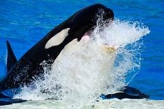 Surge (CetusCetus) Tags: seaworld sandiego california swc swsd shamu orca killerwhale whale dolphin cetacean orcaencounter corky thrash slideout thrasher corkyii show