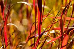 Red Grass (Karen McQuilkin) Tags: redgrass autumn fall reds flames