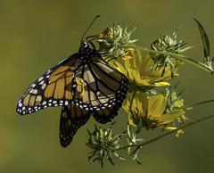 MonarchButterfly_SAF2411 (sara97) Tags: danausplexippus butterfly copyright©2017saraannefinke endangered insect missouri monarch monarchbutterfly outdoors photobysaraannefinke pollinator saintlouis towergrovepark