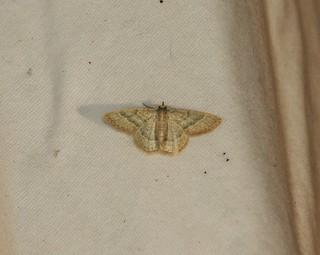 7071 Chlorochlamys chloroleucaria, Blackberry Looper Moth
