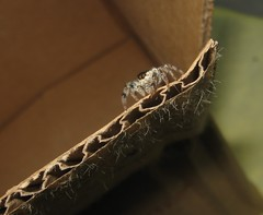 Jumping Spider (Sea Moon) Tags: arachnid jumper fuzzy cardboard box domestic creature beastie furry hairy macro