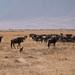 Jackal and wildebeests
