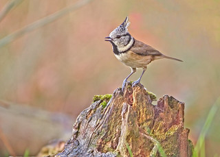 Kuifmees - Crested tit