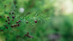 (VirtualWolf) Tags: australia bokeh canonef35mmf14lusm canoneos5dmarkiv flora kingspark perth plants techniques westernaustralia westernaustralianbotanicgarden
