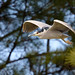 Black-Crowned Night-Heron ~ Nycticorax nycticorax ~ Southern Outer Banks, North Carolina