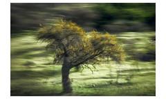 e c o a m a r i l l o (creonte05) Tags: explore eduardomiranda flickr 2017 nikon naturaleza nature chile curico icm yourbestoftoday green tree arbol d7100 awardtree ngc