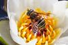Eristalis cryptarum (Olli_Pihlajamaa) Tags: animalia arthropoda brachycera diptera eristalinae eristalini eristalis eristaliscryptarum hexapoda insecta invertebrata milesiinae syrphidae aitosurrit eläinkunta hyönteiset kaksisiipiset kukkakärpäset kuusijalkaiset kärpäset niveljalkaiset selkärangattomat suosurri surrit puolanka kainuu finland fi